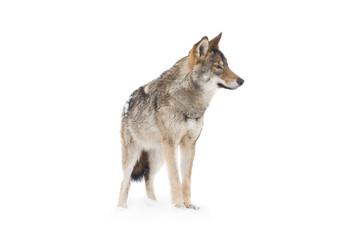 Photo sur Aluminium Loup gray wolf