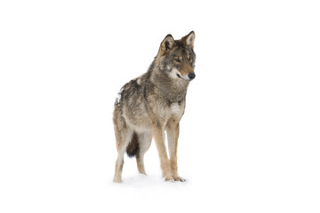 Canvas Prints Wolf gray wolf