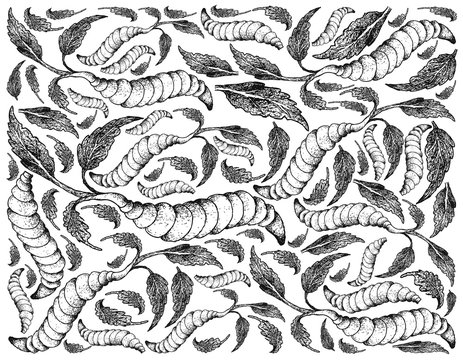 Hand Drawn of Chinese Artichoke on White Background