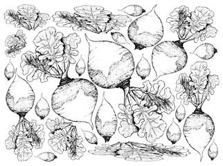 Hand Drawn of Rutabaga on White Background