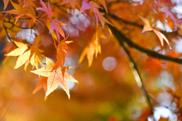 Bright colorful maple leaves on the branch in the autumn season.
