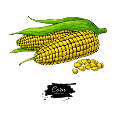 Corn hand drawn vector illustration. Isolated Vegetable