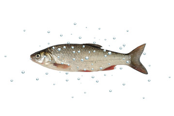 fish dace white background