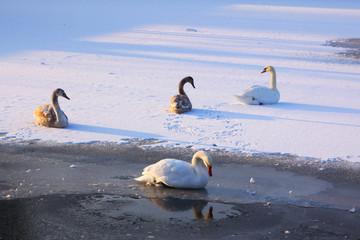 Schwäne im Eis