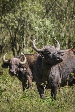 Buffalo at Hells Gate in Kenya