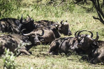 Buffalos in Hells Gate National Park Kenya