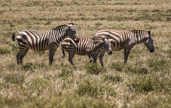 Zebras in Hells Gate National Park Kenya
