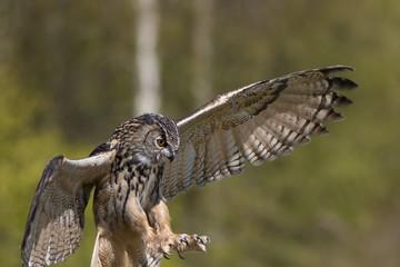 Bird of prey attacking prey. European Eagle Owl hunting.