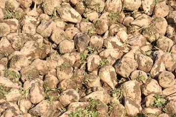 agriculture betteraves recolte terre planète