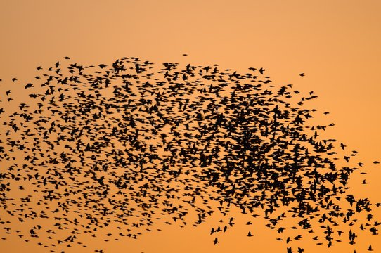 Huge flocks of starlings at sunset