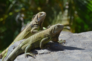 Pair of Green Iguanas With Long Talons