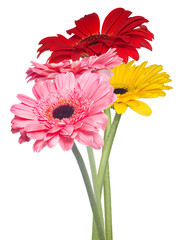 four gerbera flowers on white background