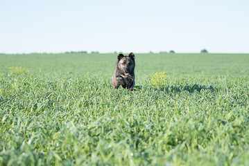 Brown dog runs at the camera on the green field on a clear Sunny summer day