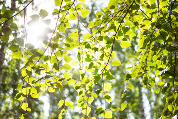 Young green birch leaves on branches. Bright sunlight. Nature in spring.