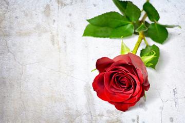 Valentines Day rose on grunge background