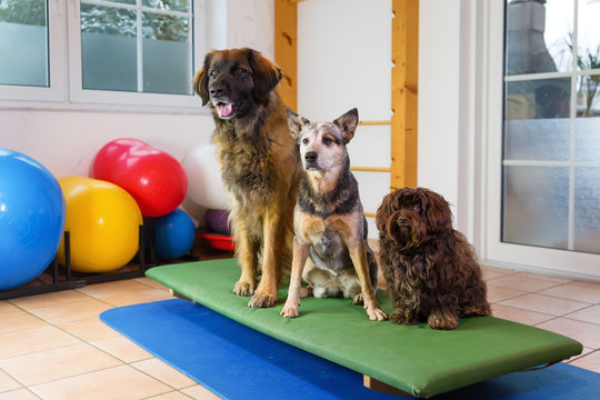 three dogs sitting on a wobble board in an animal physiotherapy office