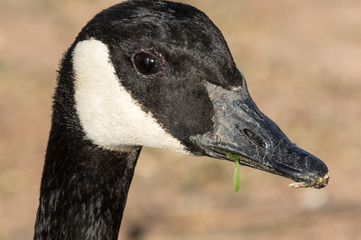 Canada goose, extreme close-up of head, in open space park, Albuquerque New Mexico