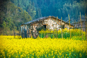 Oilseed rape field in Wuyuan County, Jiangxi province, China. Wuyuan County was founded in the 28th year of Kaiyuan of the Tang Dynasty (740 A. D) for over 1200 years.