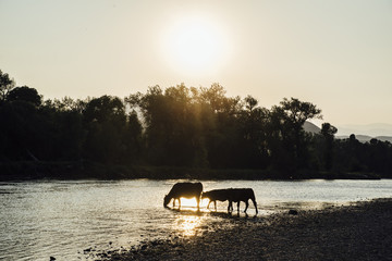 Silhouette cows drinking water in lake against sky during sunset