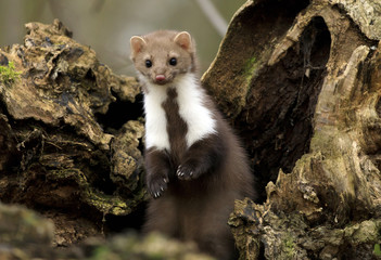 Stone marten on an old tree Wall mural