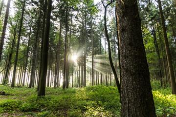 Iglasty las w porannym świetle