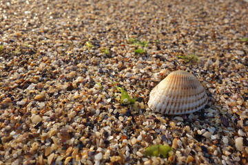 Scallop shell on colorful grit at seashore