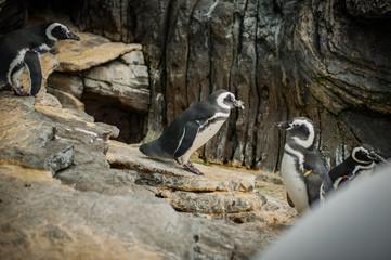 The Magellanic penguin (Spheniscus magellanicus) a South American penguin