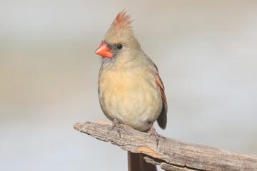 Fotoväggar - Female Cardinal On A Branch