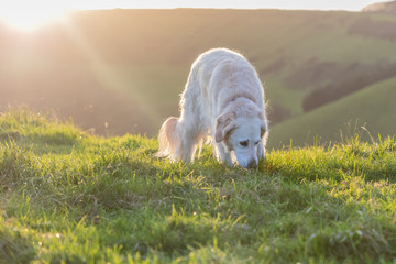 dog playing in field on hill at sunset