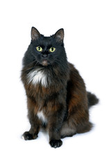 Portrait of black cat is sitting on white background