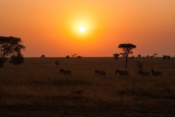 Zebras strolling past the Serengeti sunrise