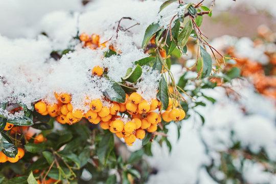 Beautiful brunches of orange rowan berries under the first snow.
