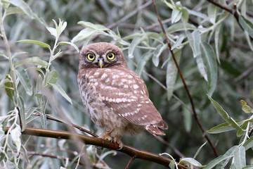 Young little owl sitting in shelter on branches of silverberry