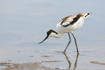 Young Pied Avocet (Recurvirostra Avosetta) Stands On The Shore Of The Lake  And Looks