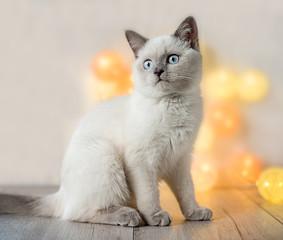 British cat - lilac point kitten