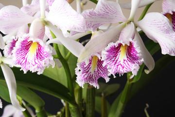 orchid Cattleya maxima semi-alba striata 'La Pedrena'