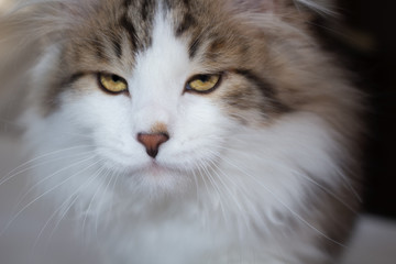Close up face of a fierce, wild looking white & brown Siberian cat with a lion like mane of thick fur and long whiskers. Cat has a serious, powerful stare, looking tough, angry or scary