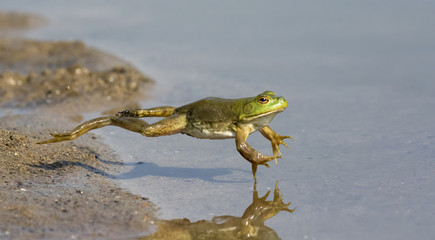 Fotobehang Kikker Adult American bullfrog (Lithobates catesbeianus) jumping in a forest lake, Ames, Iowa, USA