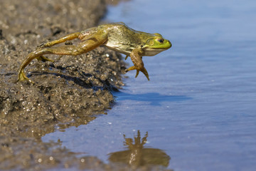 Adult American bullfrog (Lithobates catesbeianus) jumping in a forest lake, Ames, Iowa, USA