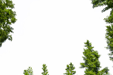 Fototapeta Green tree with white background
