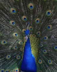 Sharp peacock portrait.