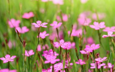 Close-up blooming carnation pink flower (Dianthus caryophyllus) in garden.