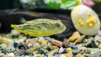 Tetradon of fahaka in the aquarium