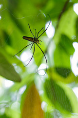 Thailand insect large forest Nephila spider with long legs on a spider web on a green background