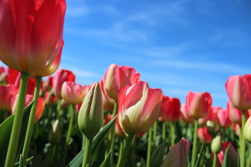 Pink Tulips against Blue Sky