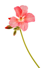 Isolated on white background home flower. Pelargonium, the family of geranium.