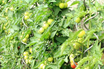 tomato plant with tomatoes