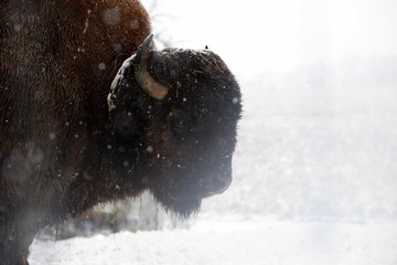 King of the snow, mighty buffalo bull standing still while it is snowing, detail
