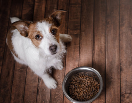 The dog on the floor. Jack Russell Terrier and a bowl of feed