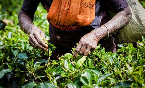 MASKELIYA, SRI LANKA - JANUARY 5 : Female tea picker in tea plantation in Maskeliya, January 5, 2015. Directly and indirectly, over one million Sri Lankans are employed in the tea industry.